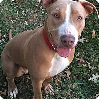 Pit Bull Terrier Mix Dog for adoption in Ardsley, New York - Hazel