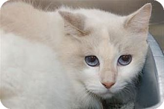 Siamese Cat for adoption in Mountain Home, Arkansas - Sandy
