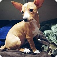 Adopt A Pet :: Honey - New Braunfels, TX