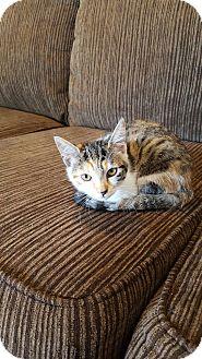 Domestic Shorthair Cat for adoption in Honolulu, Hawaii - Kiwi