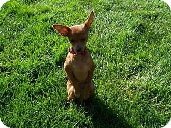Chihuahua Puppy for adoption in Sacramento, California - *ALBERT