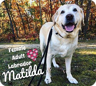 Labrador Retriever Dog for adoption in Jackson, New Jersey - Matilda
