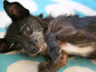 Terrier (Unknown Type, Medium) Mix Dog for adoption in Dana Point, California - ZIGGY