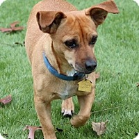 Dachshund/Chihuahua Mix Dog for adoption in Dallas, Texas - Lord Pumpkin
