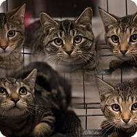 Adopt A Pet :: Joan's Kittens - Staten Island, NY