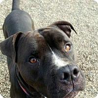 Adopt A Pet :: Arrow - Cleveland, OH
