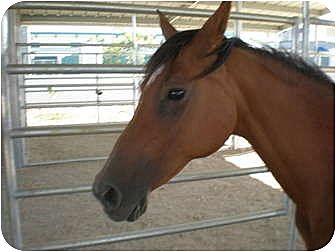 Arabian for adoption in West Los Angeles, California - Zelda
