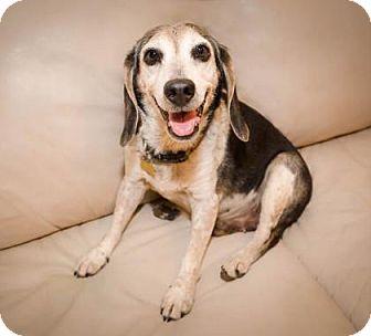 Beagle Mix Dog for adoption in Phoenix, Arizona - Sydney Boy