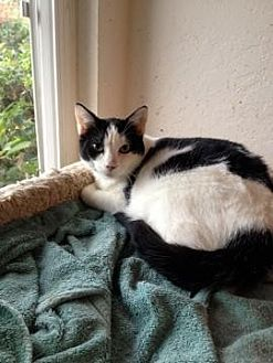 Domestic Shorthair Cat for adoption in San Jose, California - GAP-Dimples