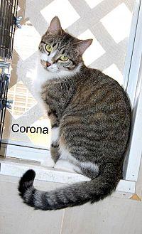 British Shorthair Cat for adoption in Jackson, Mississippi - Corona