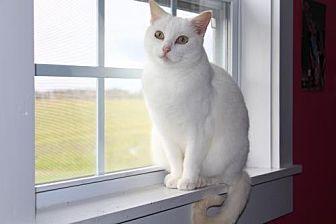 Domestic Shorthair Cat for adoption in Thibodaux, Louisiana - Sugar    Fe2-8869