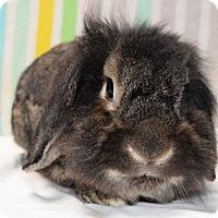 Adopt A Pet :: Ewok - Fountain Valley, CA