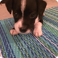 Adopt A Pet :: Luna - Centreville, VA