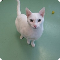 Domestic Shorthair Cat for adoption in Gadsden, Alabama - marshmallow