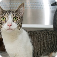 American Shorthair Cat for adoption in New York, New York - Nelly