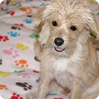 Cairn Terrier/Toy Poodle Mix Puppy for adoption in Agoura Hills, California - 'LILY'