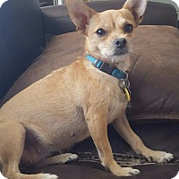 Chihuahua/Terrier (Unknown Type, Small) Mix Dog for adoption in Redding, California - Molly