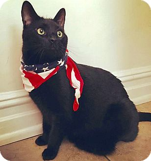 Bombay Cat for adoption in Brooklyn, New York - Sawyer, Snuggly and Special Bombay Boy