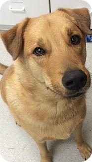 Labrador Retriever Mix Dog for adoption in Spokane, Washington - Tipper