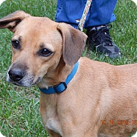 Beagle/Boxer Mix Dog for adoption in SUSSEX, New Jersey - Voyager(22 lb) Sweetest Ever!