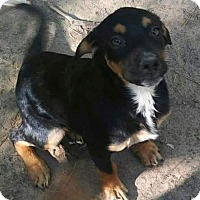Shepherd (Unknown Type)/Rottweiler Mix Puppy for adoption in Willingboro, New Jersey - Rhonda