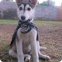 Adopt A Pet :: Juneau - Phoenix, AZ