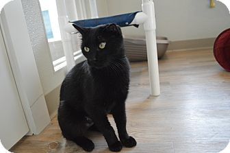 Domestic Shorthair Cat for adoption in St. Charles, Missouri - Gala