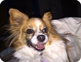 Papillon Mix Dog for adoption in Edmond, Oklahoma - Jake
