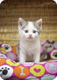 Domestic Shorthair Kitten for adoption in Sterling, Kansas - Samantha