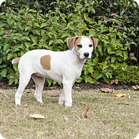 Pointer Mix Puppy for adoption in Woodstock, Georgia - Annie