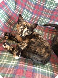Domestic Shorthair Kitten for adoption in Cedar Rapids, Iowa - Rudy