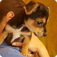 Adopt A Pet :: Sanchez - Los Angeles, CA