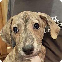 Adopt A Pet :: Walter - St.Ann, MO