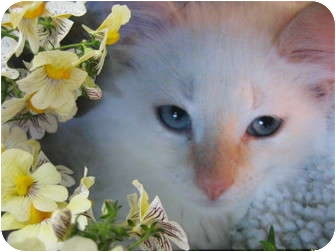 Siamese Kitten for adoption in Brea, California - The Baby