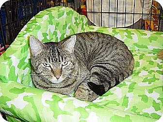 Domestic Shorthair Cat for adoption in Los Angeles, California - Freddie