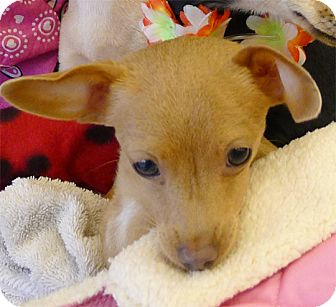 Chihuahua Puppy for adoption in Sacramento, California - Fawn cute needs FOSTER