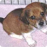 Adopt A Pet :: B-Dawg - Novi, MI