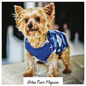 Yorkie, Yorkshire Terrier Dog for adoption in Statewide and National, Texas - Chewie