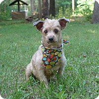 Adopt A Pet :: Gojo - Mocksville, NC
