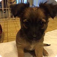 Adopt A Pet :: Belle - Princess Pup - Encino, CA