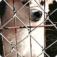 Adopt A Pet :: Scotty-ADOPTION PENDING - Boulder, CO