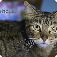 Domestic Shorthair Cat for adoption in West Des Moines, Iowa - Trishelle