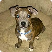 Adopt A Pet :: Duke - Olive Branch, MS
