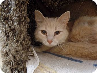 Domestic Mediumhair Cat for adoption in Hawk Point, Missouri - Marla