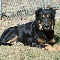 Australian Shepherd Dog for adoption in Hankamer, Texas - Emma