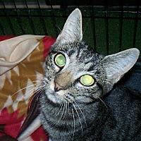 Domestic Shorthair Cat for adoption in Petersburg, Virginia - Camille