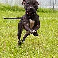 American Pit Bull Terrier Dog for adoption in Warner Robins, Georgia - Stark