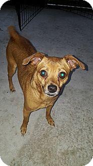 Chihuahua/Dachshund Mix Dog for adoption in Seminole, Florida - Shy