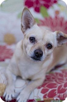 Chihuahua Mix Dog for adoption in Mesa, Arizona - DAISY 2 YR CHIHUAHUA @PETCO