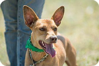 Manchester Terrier/Doberman Pinscher Mix Dog for adoption in Pasadena, California - Diego